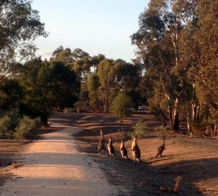 An Autumn morning, sun rises over the O'Keefe Rail Trail and its local population. Mar 2016 Photo: Liz