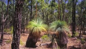 Grass Trees in Heathcote-Graytown National Park